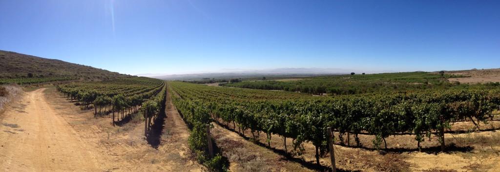 Pinotage Vineyard