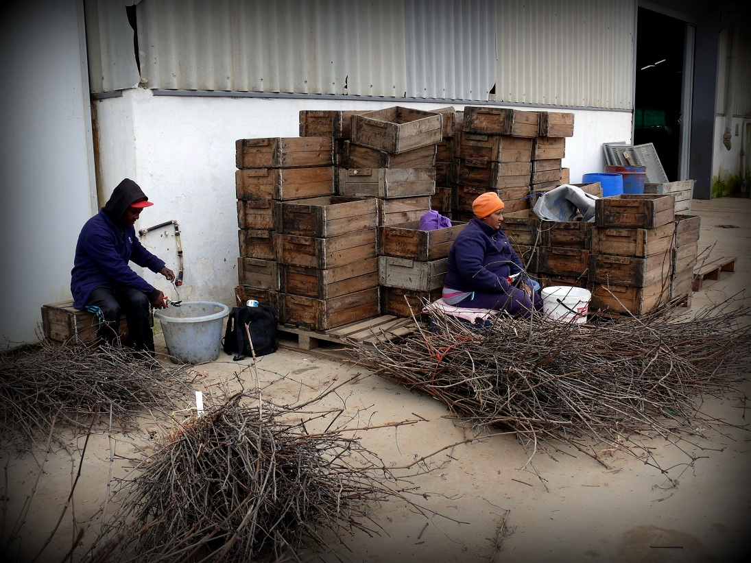 The Shoots Gets Taken To Warehouses Where They Are Grafted You Basically Get Two Kinds Of Grafting Bench And Field