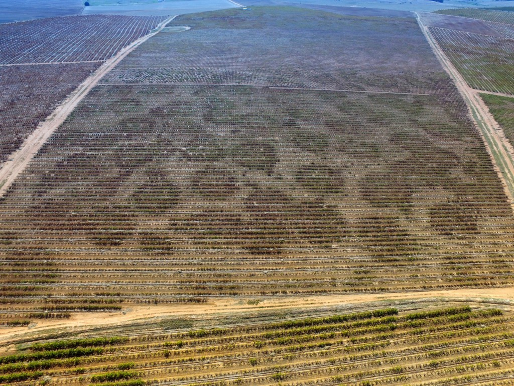 Vineyard crop circles caused by ancient termite activity